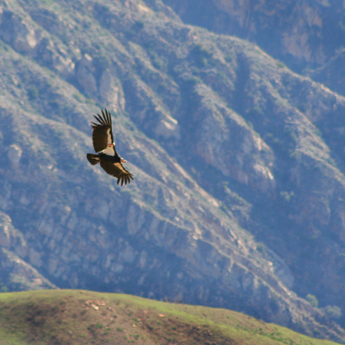 california-condor-flying-12.jpg